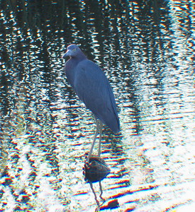 Little Blue Heron. 3 Sisters Wetland Walk. 12/03/2016.