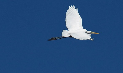 Great Egret soaring over 3 Sisters Wetland Walk. 12/2/2016.