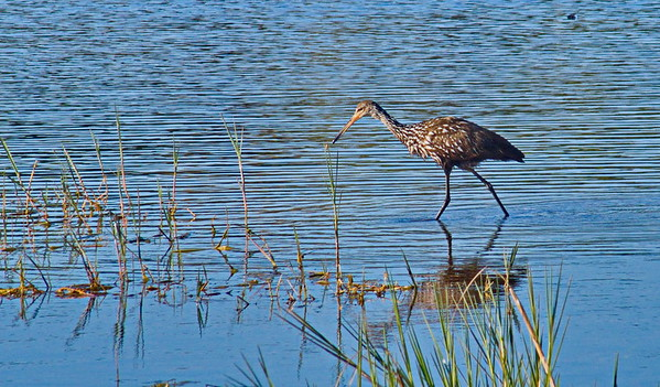 Limpkin in little lake Henderson