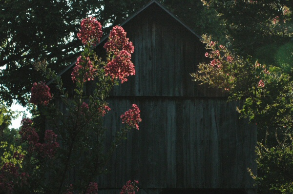 The old barn behind my Mom's house framed by the crepe myrtles.