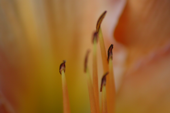 closeup of one of the few remaining daylilies that's blooming.