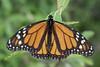 Lone Monarch Butterfly - West Virginia, July 4th, 2008