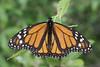 Lone Monarch Butterfly - West Virginia, July 4th, 2008