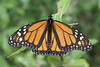 Lone Monarch Butterfly - West Virginia, July 4th, 2008<br /> <br /> Mount Storm, VEPCO Lake, WV