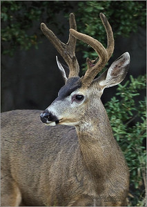 It looks like this buck was a little younger than the other one with shiny antlers. At this age he still had his velvet.