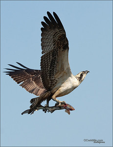 A shark for the young Osprey