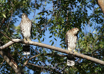 Two of four Cooper hawk fledges. Very near my home in Irvine.