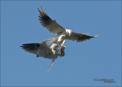 Adult White Tailed Kites exchanging food during the second mating season of the year.