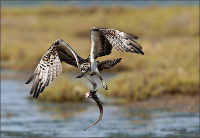 Osprey catches his second shark of the day, he flew off because a crow got too close.
