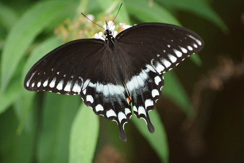 White variant of black tiger butterfly