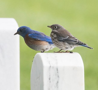 Westen Bluebirds - Adult Male & Juvenile