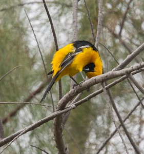 Hooded Oriole, adult male.