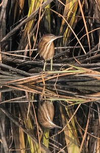 Least Bittern - Sorrento Valley Road 7-5-17