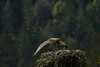 _MG_7997 osprey takeoff  © bob wilson 2010