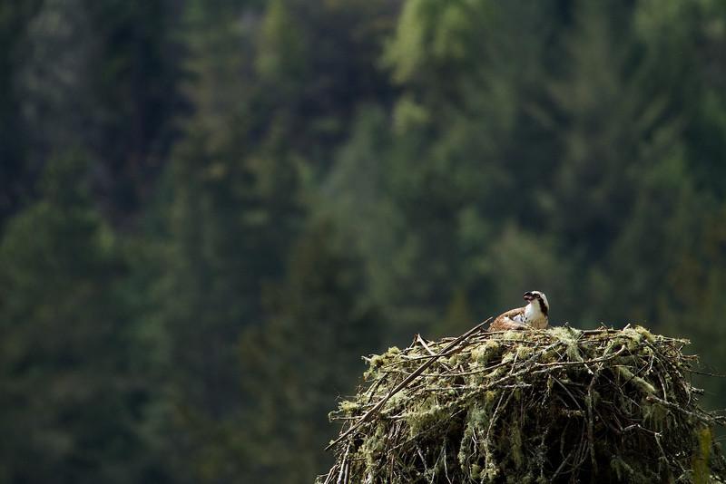 _MG_7939  ospray on nest © bob wilson 2010