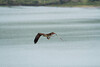 _MG_8087 osprey fish 1 © bob wilson 2010