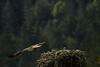 _MG_7999 osprey takeoff © bob wilson 2010