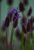 _MG_8485 purple flowers © bob wilson 2010