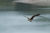 _MG_8085 osprey w fish © bob wilson 2010