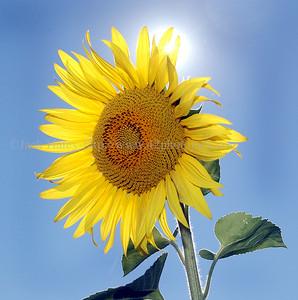 sunflowerJH2