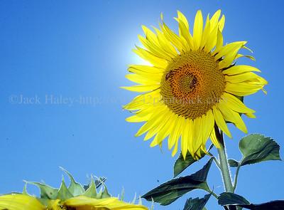 sunflowerJH4
