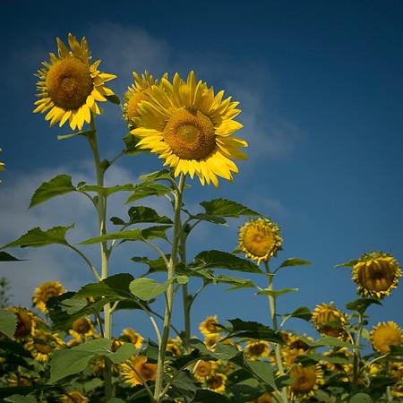 sunflowers hortcenter_668