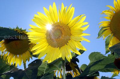 sunflowerJH3