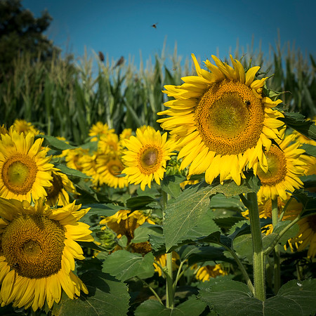 sunflowers hortcenter_104