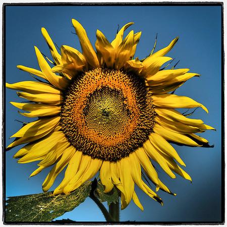 sunflowers hortcenter_125
