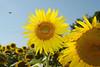 sunflowerJH1
