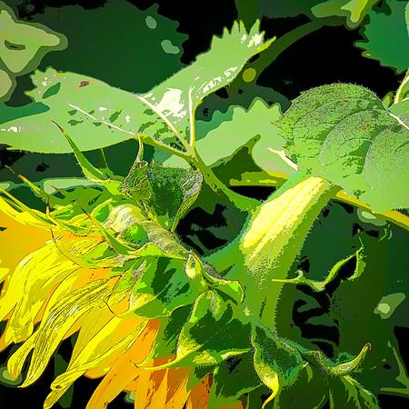 sunflowers hortcenter_882