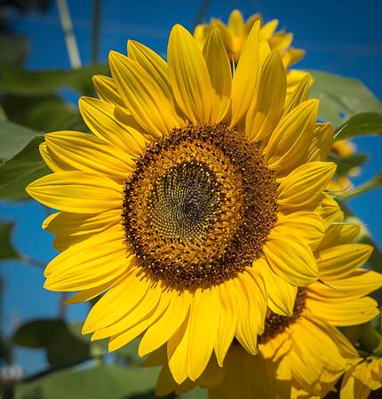 sunflower clayton st8_16_02