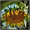 sunflower clayton st8_16_23