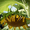 sunflower clayton st8_16_14