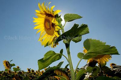 sunflowerJH6