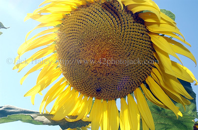 sunflowerJH8