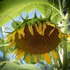 sunflower clayton st8_16_20