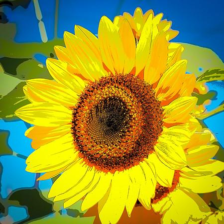 sunflower clayton st8_16_06