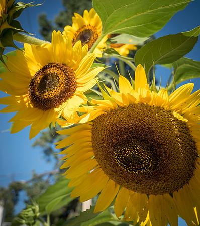 sunflower clayton st8_16_08