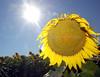 sunflowerJH5