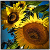 sunflower clayton st8_16_11