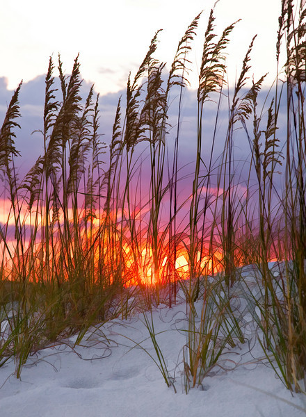 Sea Oats at sunset. Destin, Florida