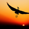 Great Blue Heron at sunset, Fort Walton Beach, FL