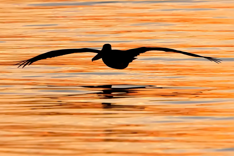 Brown Pelican during sunset, Shalimar, Florida