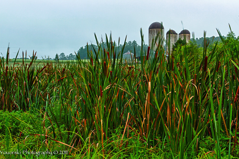 Cattails and Silos