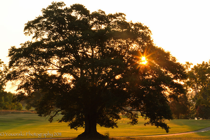 the Might Oak on the golf course
