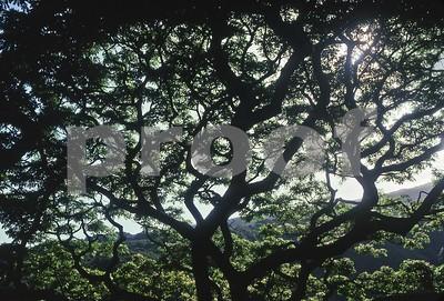 Maui Tree Abstract