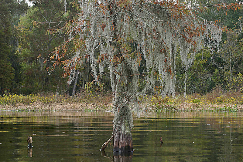 "I call this tree ""dressed in moss"" taken in St. Marins lake in Breaux Bridge, LA"