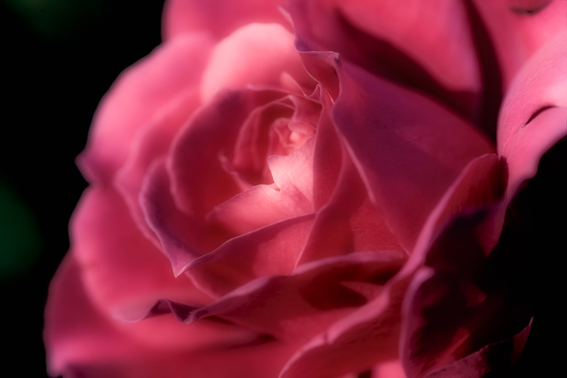 Closeup image of a red rose, colored for a vintage look.