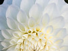 Square closeup  image of a white dahlia with tubular petals, looking down into the blossom.